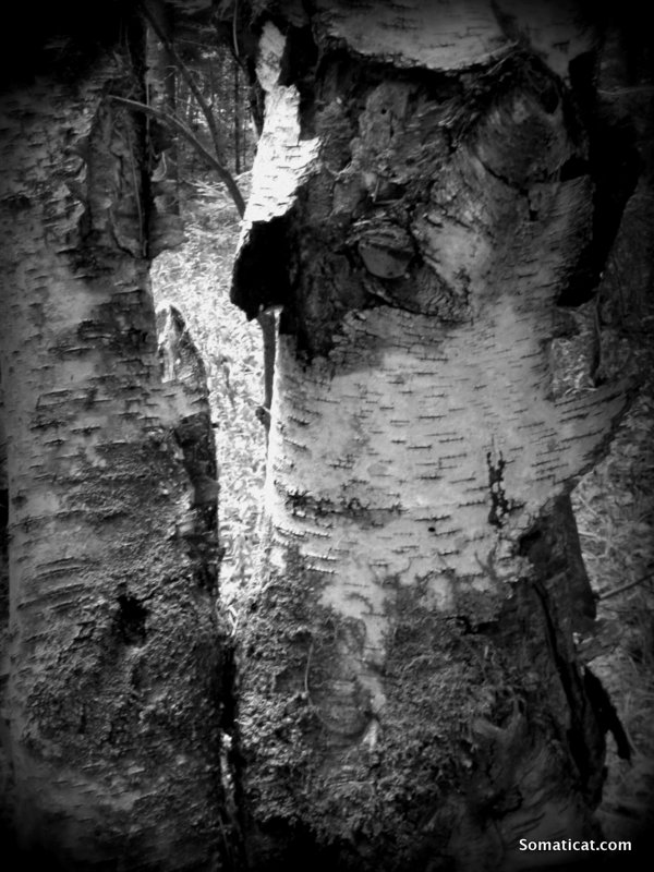 barkpeeling